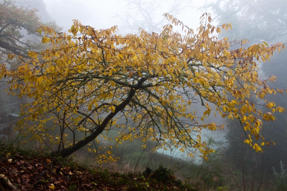 Tree in the fog. Santo Estevo, Galicia
