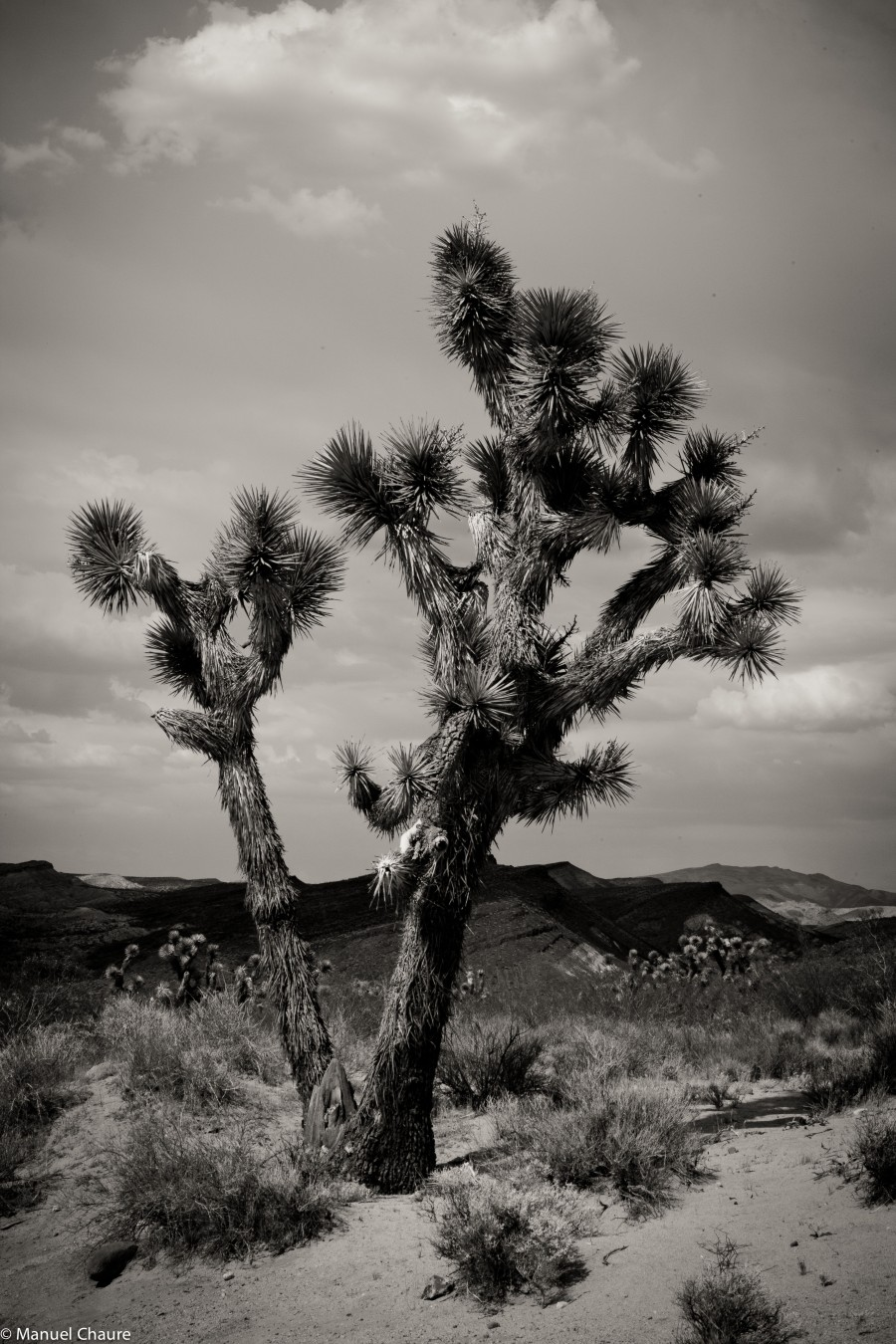 Joshua Tree. California Desert
